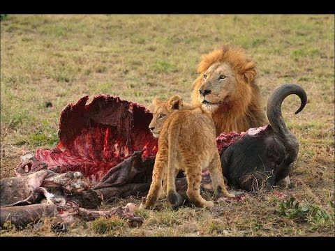 Lions Documentary Life of Lions Hunting, Fighting, Mating Best Nature Wi...