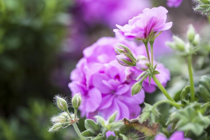 1000 ideas about geranium care on pinterest geranium pratense geraniums and overwintering - How to care for ivy geranium ...