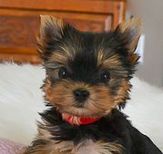 Yorkies for Sale | Affordable Yorkies for Sale | Teacup Yorkie Puppies