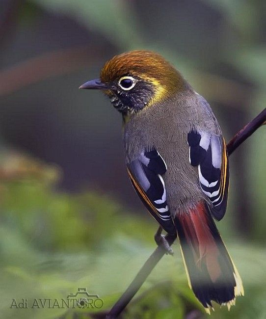 Chestnut-tailed Minla, Malaysia. Laughingthrush family. Indian Subcontinent and…