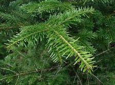 Fir Needle oils blends with Pine, Cedarwood, Lavender, Rosemary, Marjoram and Lemon