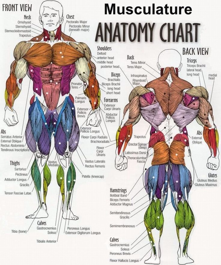 Body Building Anatomy Chart from Gym Posters