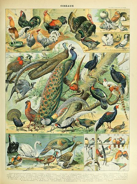 Birds illustration of the Nouveau Larousse illustré, Adolphe Millot, public domain via Wikimedia Commons.