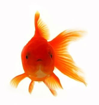 Goldfish Breeding