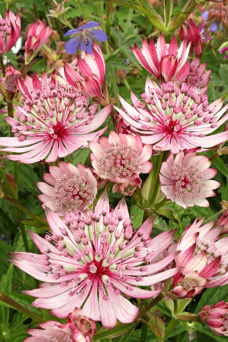 Astrantia Sparkling Stars Pink PBR