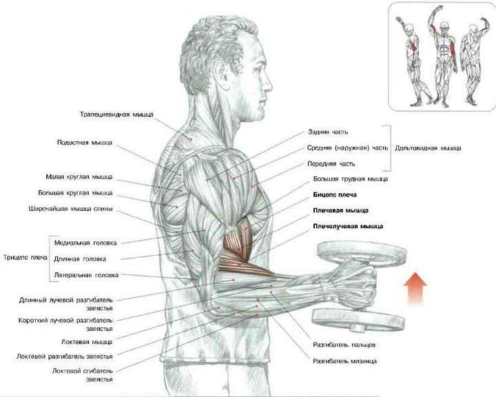 Сгибание рук с гантелями 'молот' | Бицепс, Гантели, Упражнения