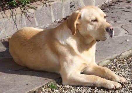 Labradorský retrívr (Labrador Retriever)-3