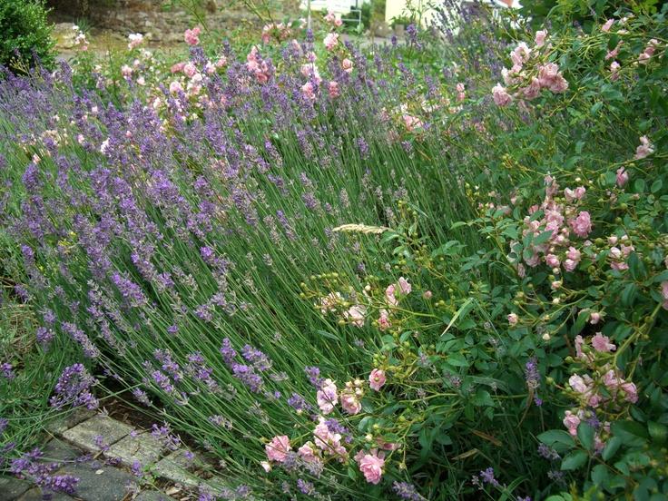 Lavendel & Rosen