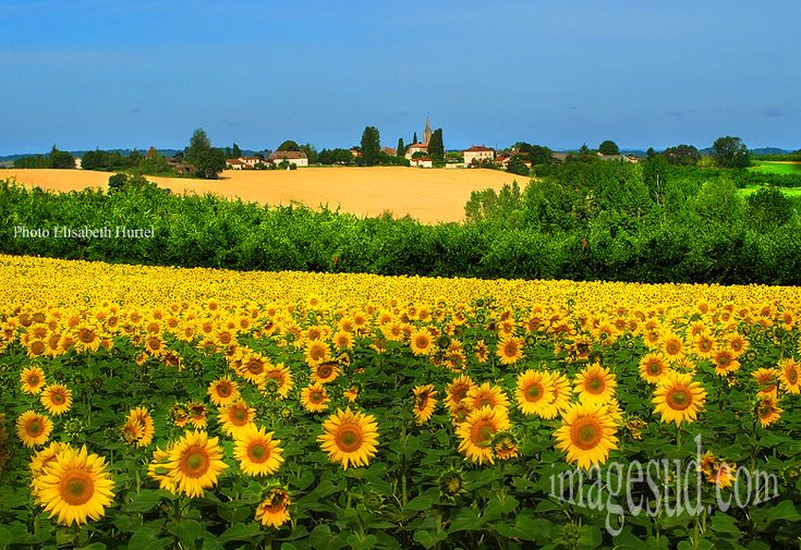 Paysage - sunflowers.  Aquitaine, south-west France  http://www.frenchentree.com/france-aquitaine/