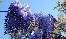 Blåregn / Wisteria sinensis 'Prolific' / Slyngplanter