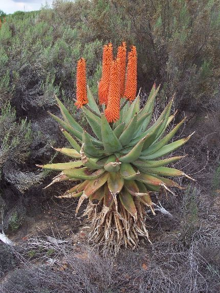 A orange flowering plant of Aloe ferox