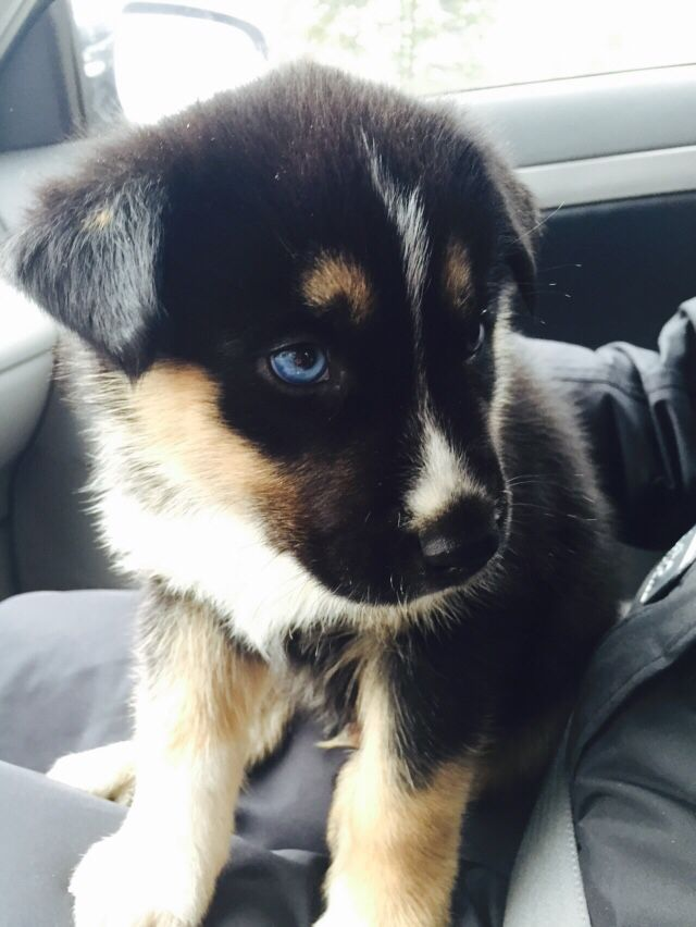 Gerberian Shepsky Mix Between A Siberian Husky And A German