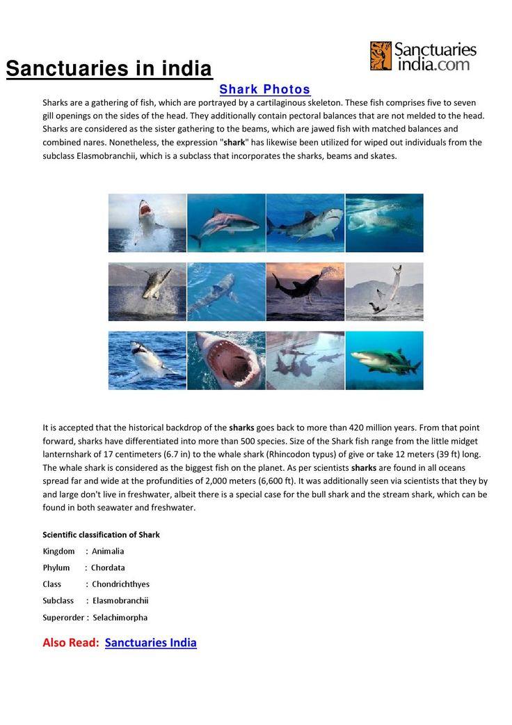 Sanctuaries in india shark photos  Sanctuaries in India : Shark Gallery, Shark pics, Shark photos, Shark pictures, Shark photography, Shark images, Shark photo gallery, Shark Gallery Images @ sanctuariesindia.com