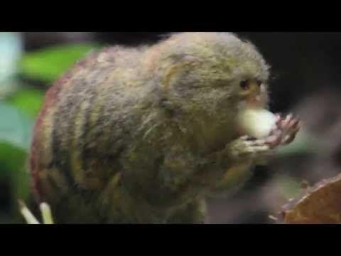 Dwergzijdeaapje ZOO Antwerpen / Pygmy marmoset monkey ZOO Antwerpen - YouTube