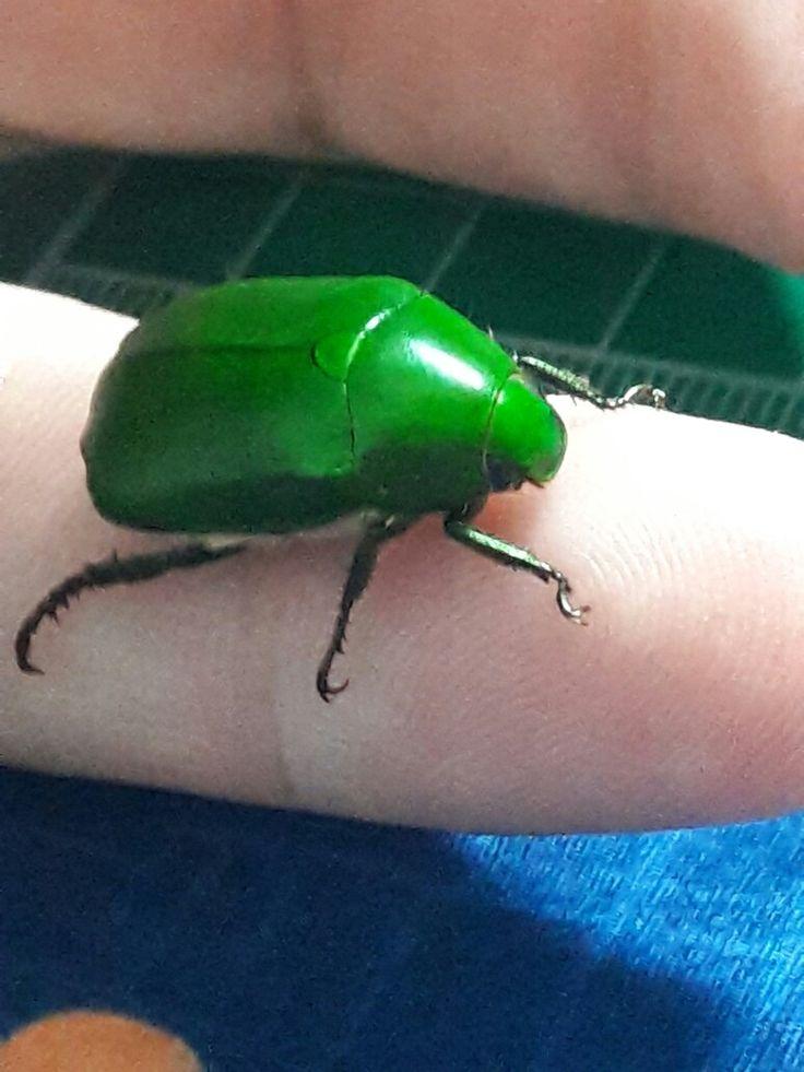 Eukaryota Animalia Arthropoda Hexapoda Coleoptera Anomala grandis found in Dajia Taiwan May 15, 2017