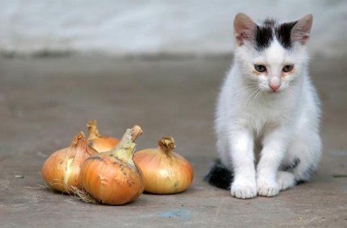 10 alimente, care în nici un caz nu trebuie date la pisici. Rezultatul poate fi…