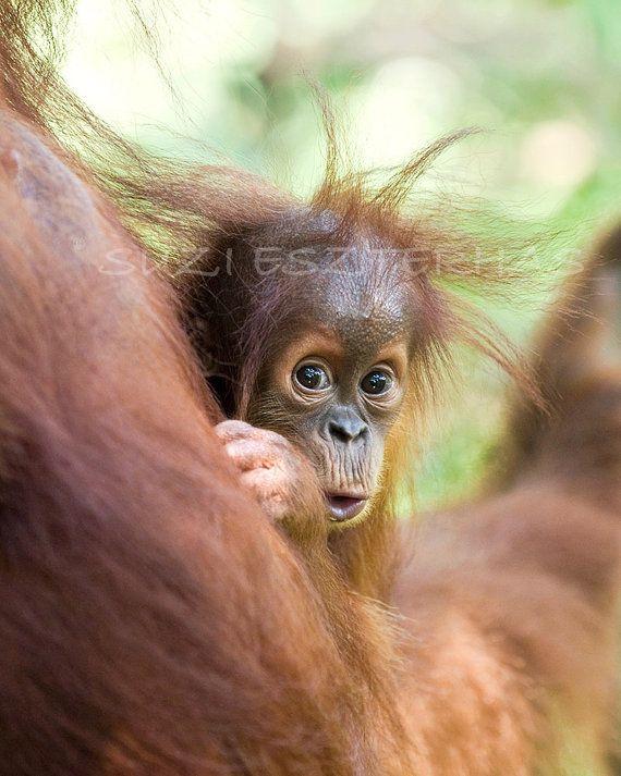CURIOUS BABY ORANGUTAN Photo- 8 X 10 Print - Baby Animal Photograph, Wildlife Photography, Nursery Wall Art, Jungle, Baby Monkey, Cute. $25.00, via Etsy.