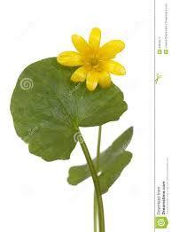 Ranunculus ficaria - Lesser celandine