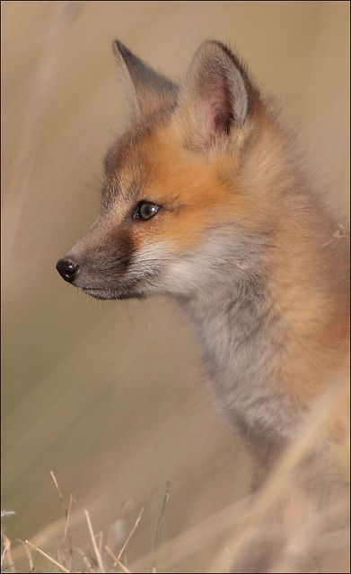 108 best ༺ Mr Fox ༻ images on Pinterest Fox, Red fox and Wild - best of coloring page of a red fox