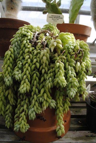 La cola de burro es una suculenta perteneciente a la familia de las Crasuláceas. Es originaria de México y resulta muy fácil de cultivar.