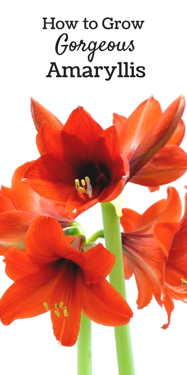 A guide to growing amaryllis flowers at home with tips for long-lasting blooms from long-lasting plants. Amaryllis flowers are absolutely stunning and worth the time investment. Pop a few of them on windowsills and end tables around your house and it will add some cheer to the winter months. #sponsored