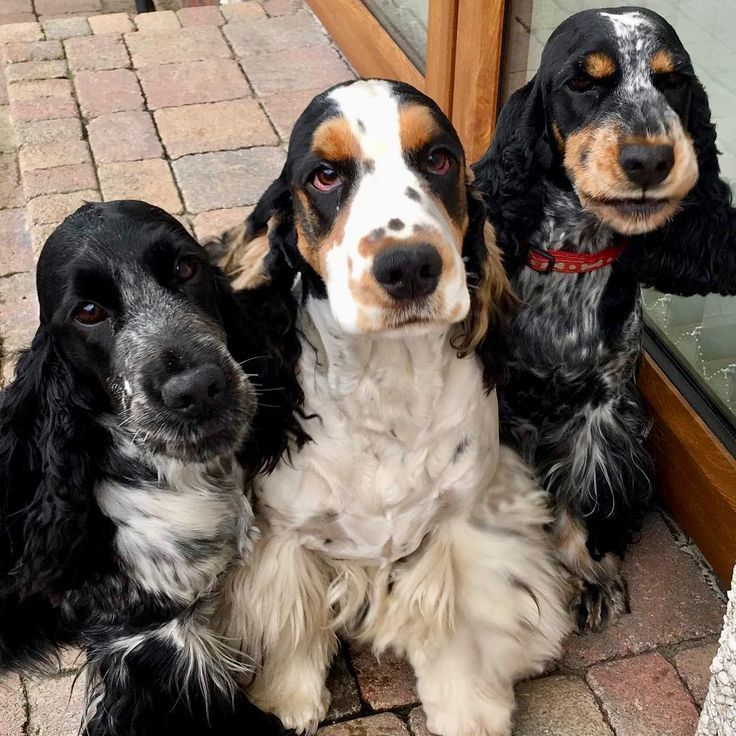 English Cocker Spaniels In Northern Ireland Monday S Aren T So