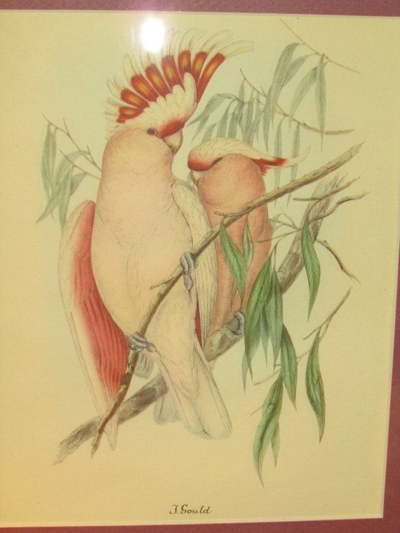 J Gould Two Tropical Cockatoo Birds Print in Custom by VintageABCs, $28.00