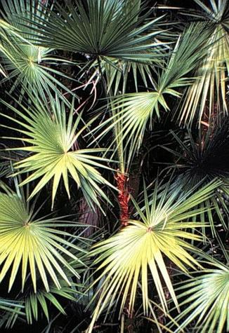Everglade's Palmettos, the Florida Everglades