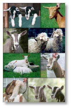 Visit our Goat marquee and meet some wonderful goats!