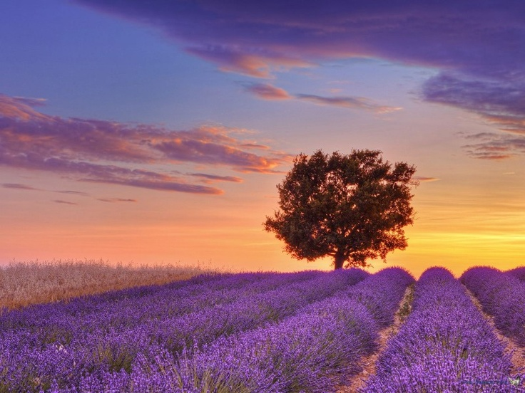 Lavender fields - to just soak in one of mom's favorite scents, it will forever remind me of you! <3