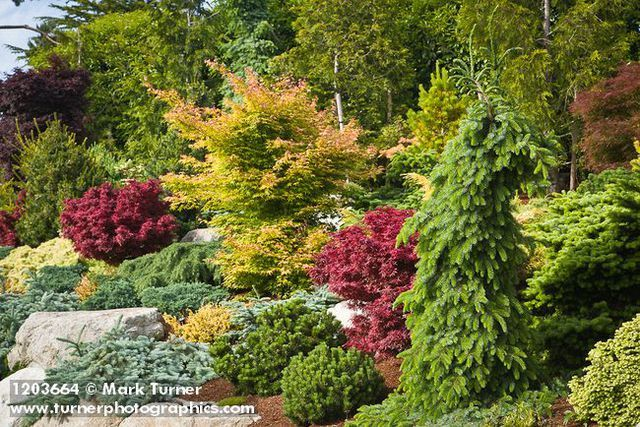 17 best images about dwarf japanese maple on pinterest