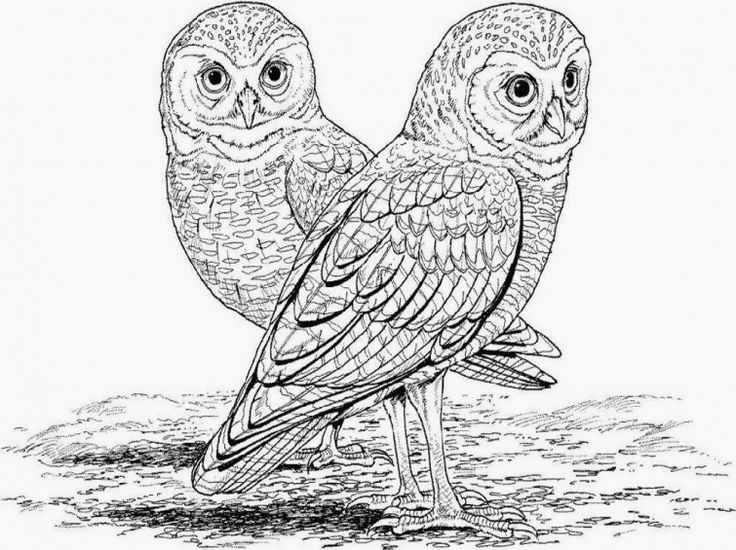 Free realistic owl online coloring page for adults