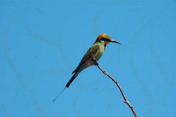 Australian Rainbow Bee-eater