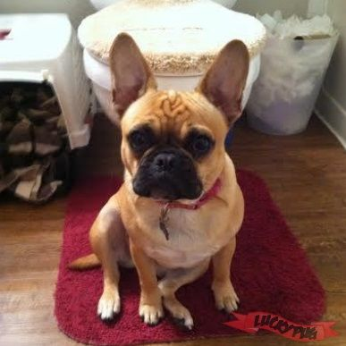 lola the pug lola the frenchie pug frug 01 fan boy frenchie pug 8342