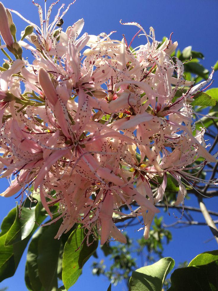 Calodendrum capense (Cape Chestnut)