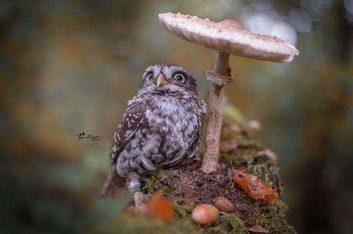 今、ある1枚の写真が世界中に拡散している。 上の写真がそうなのだが、小さなフクロウがキノコの傘の下で雨宿りをしているものだ。 ちょっと困ったようにも見える表情で、雨をしのぐフクロウの姿が「可愛すぎる」と、人々の心をキュンキュンさせている。 但し、これは自然界の驚きの瞬間をとらえたものではない。 ドイツで活動す