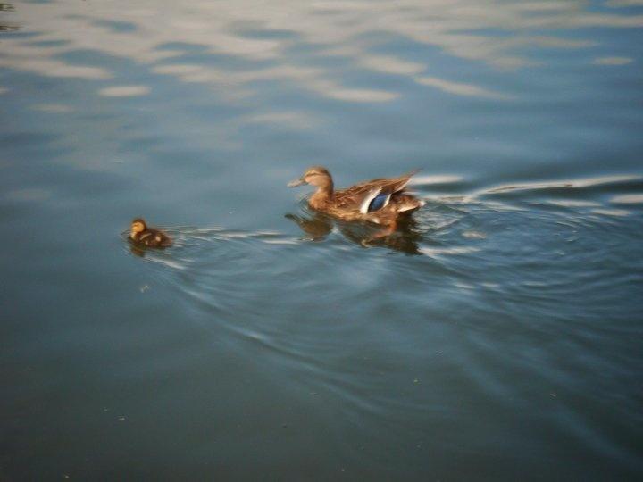 Ducks swimming!