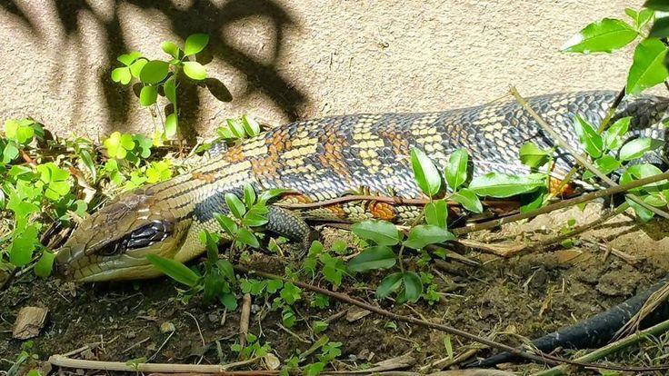 Look who we found sunbaking! Is he a Shingleback or a Blue Tongue? #lizard #bbbr #batemansbaybeachresort