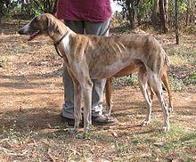 Mudhol Hound - a.k.a. Caravan Hound. India. Hunting and guarding