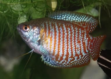 17 best ideas about colorful fish on pinterest pretty for Easy to care for fish
