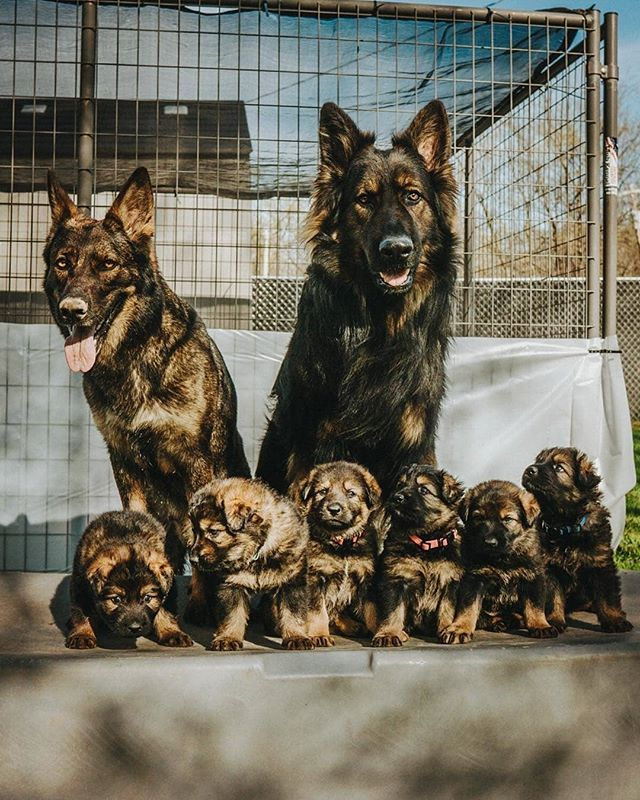 First Attempt At A Family Portrait Koba Gsd