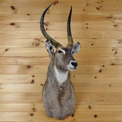 African Waterbuck Taxidermy for Sale - SW2968