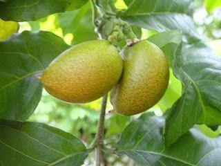 11. Butternut, kacang Amazone (Amerika Latin) Tanaman buah berupa pohon, buahnya berwarna merah saat matang dan rasanya manis. Bijinya yang berupa kacang dapat diolah sebagai olahan kacang, dodol atau wajik