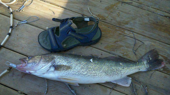 Tongue River Res, Montana Walleye