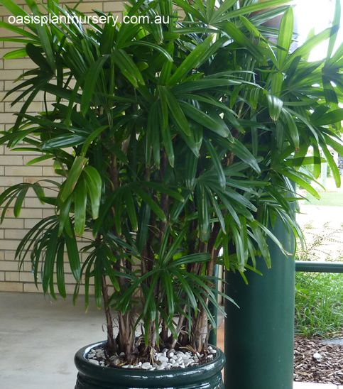 17 Best Images About Palm Trees On Pinterest Foxtail