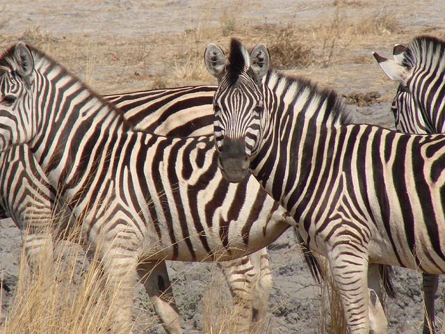 African Zebra, taken April 19, 2006