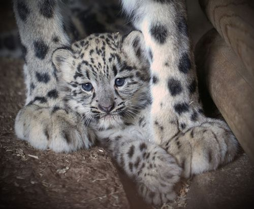 Dudley Zoological Gardens' newest arrival: an eight-week-old Snow Leopard cub (with mom, Nanga)