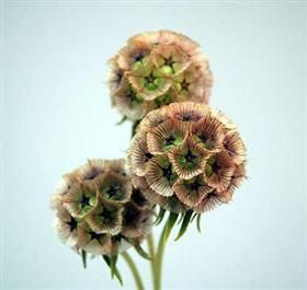 How cool are these flowers? They would be a great addition to a bouquet or centerpiece.