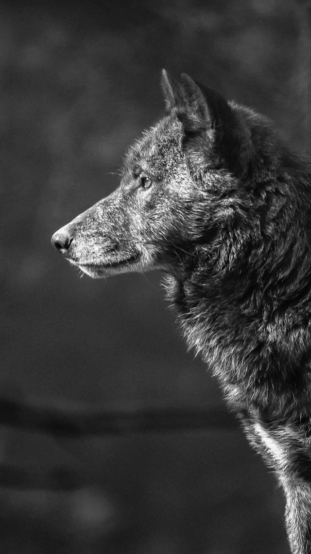 Pin By Rocki On Nima In 2020 Wolf Wallpaper Wolf Pictures Animal Wallpaper