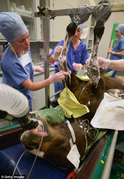 The veterinary surgeons keep a watchful eye on their charge during the operation.